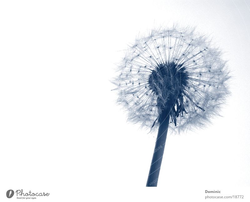 Beautiful Sky White Flower Blue Plant Blossom Beginning Delicate Stalk Blossoming Dandelion Seed Graceful