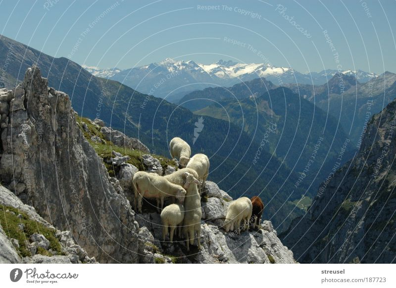 sure-footed sheep Vacation & Travel mountain hiking Climbing Mountaineering Hiking Environment Nature Landscape Animal Cloudless sky Summer Autumn