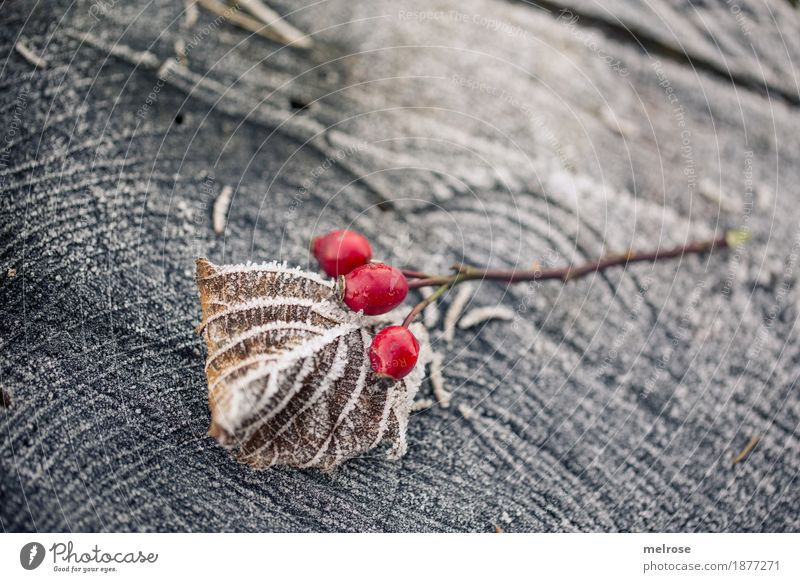 I see a bissel red Berries Rose hip Style Design Environment Nature Winter Beautiful weather Ice Frost Snow Bushes Leaf Wild plant red berries Branch Tree stump