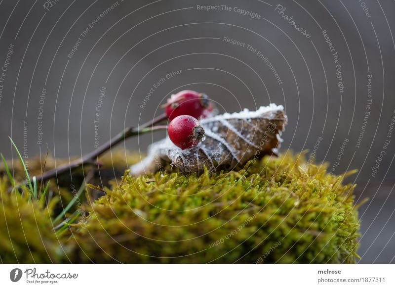 moss bed Elegant Style Environment Nature Winter Beautiful weather Ice Frost Snow Plant Moss Fern Leaf Blossom Rose hip Berries Forest Still Life embedded