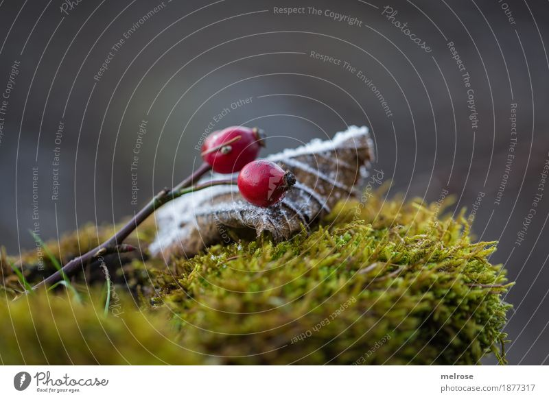 I see red II Berries Rose hip Style Design Environment Nature Winter Climate Weather Beautiful weather Ice Frost Carpet of moss Moss red berries Leaf Frozen