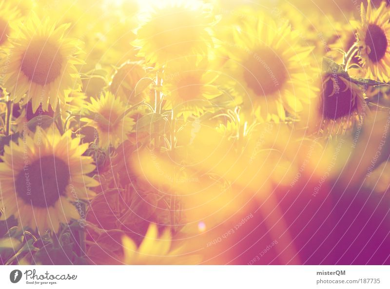 Nature Sunbeam Sun Flower Summer Yellow Meadow Warmth Landscape Field Back-light Esthetic Future Romance To go for a walk Nutrition