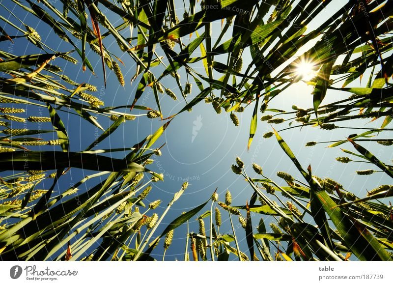 I want summer!!! Food Grain Summer Sun Environment Nature Plant Elements Fire Air Cloudless sky Beautiful weather Warmth Agricultural crop Field Relaxation