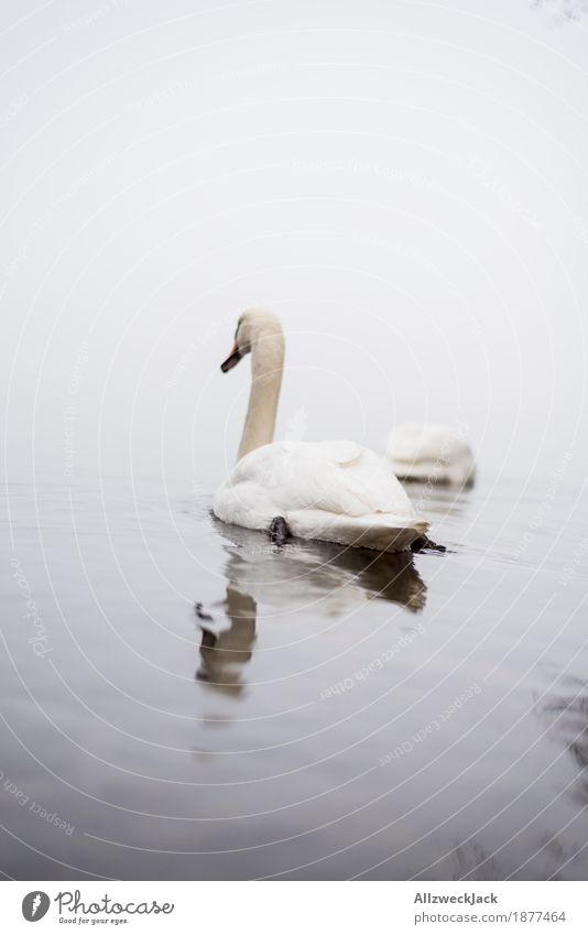 Nature Water Animal Calm Gray Lake Fog Pair of animals Wild animal Lakeside River bank Swan Bad weather
