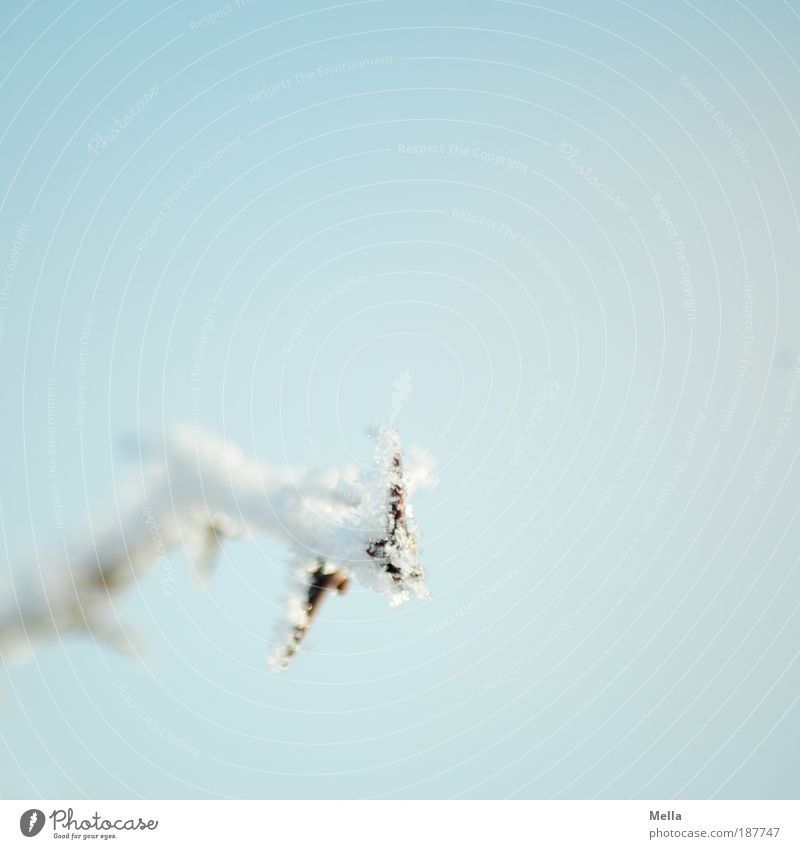 It was cold Environment Nature Plant Sky Winter Climate Weather Ice Frost Twig Thorn Freeze Bright Cold Blue White Idyll Pure Calm Colour photo Exterior shot