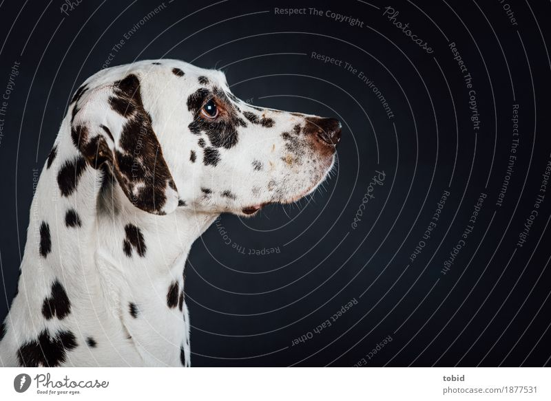 snout Animal Pet Dog Animal face 1 Observe Dalmatian Snout Coat color Pelt Dappled White Colour photo Studio shot Close-up Artificial light Animal portrait
