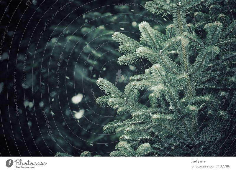 snow flurries Environment Nature Winter Climate Storm Wind Ice Frost Snow Tree Fir tree Coniferous trees Forest Dark Cold Blue Green Freedom Desire White