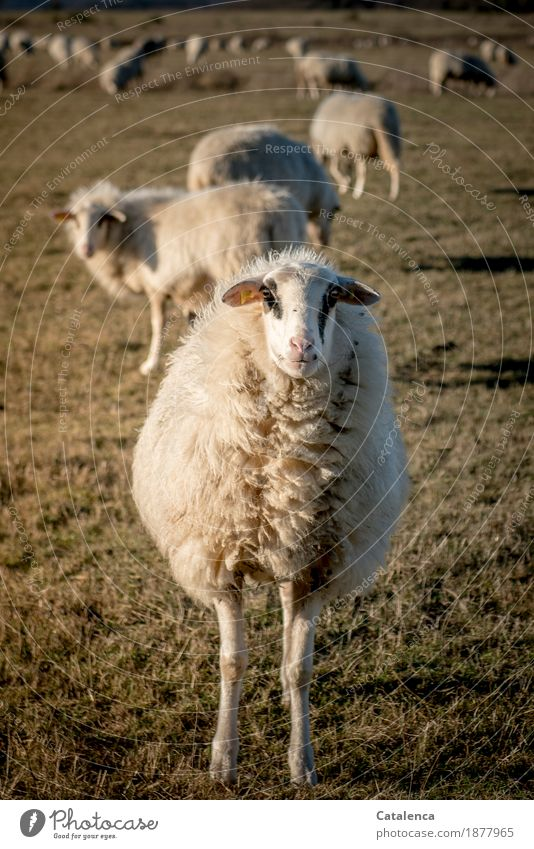 I'm a sheep! Nature Animal Winter Plant Grass Meadow Farm animal Sheep Flock 1 Herd Wool Observe To feed Authentic Natural Curiosity Brown Yellow Gold Black