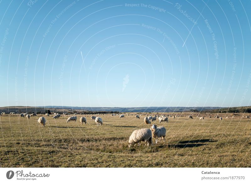 We are sheep Landscape Plant Animal Sky Cloudless sky Winter Beautiful weather Grass Field Nature reserve Aviation Farm animal Sheep Flock Herd Vapor trail