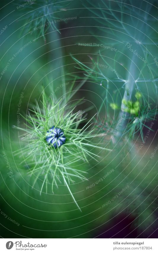 * Environment Nature Plant Blossom Agricultural crop Dill Dill blossom Authentic Exotic Natural Original Wild Blue Green Colour Depth of field Edible Primordial