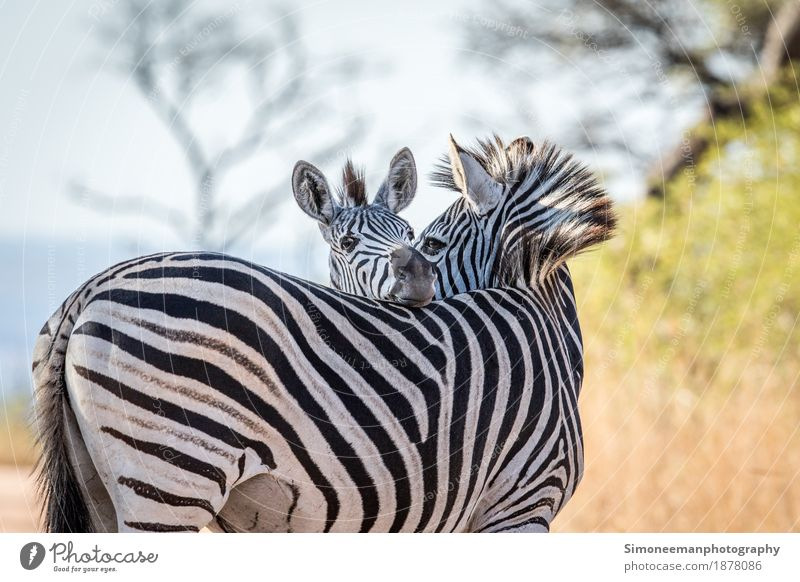 Two bonding Zebras Safari Nature Warm-heartedness Africa South Africa Wildlife Wildlife Photography Animals Conservation Mammal Quagga Kruger Colour photo