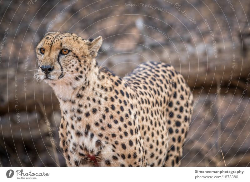 Starring Cheetah in the Kruger. Safari Nature Cat Vacation & Travel Africa South Africa Wildlife Wildlife Photography Animals Conservation Mammal Endangered
