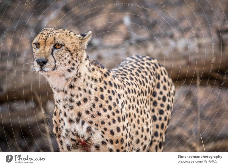 Cheetah starring in the Kruger National Park, South Africa. Safari Nature Cat Hunting Beautiful Wildlife Wildlife Photography Animals Conservation Mammal
