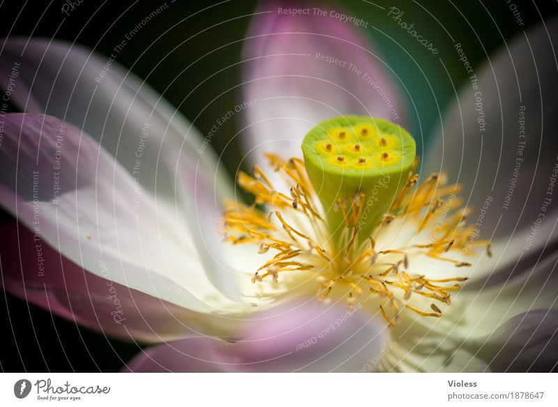 lotus Lotus Flower Water Blossom Plant Pink Aquatic Pistil Aquatic plant Hydrophobic Water lily