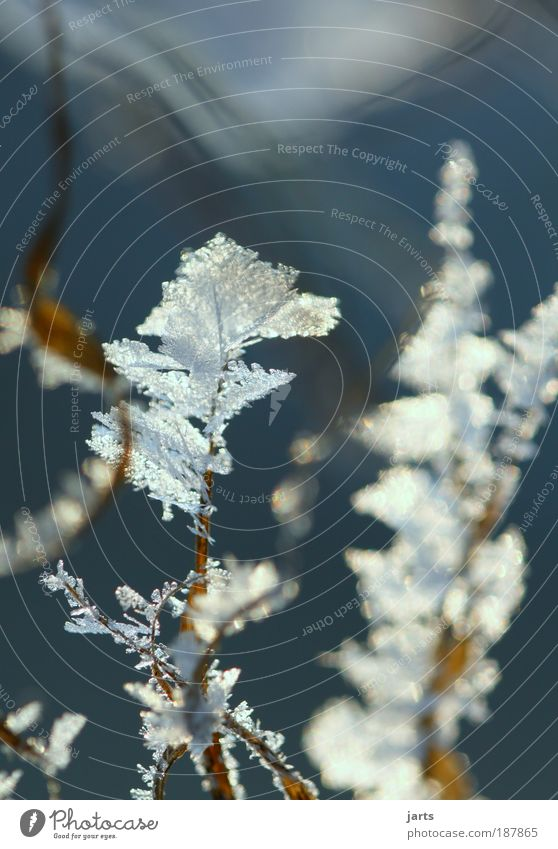 frost Nature Plant Winter Ice Frost Snow Grass Meadow Cold Natural Calm Climate jarts Frostwork Colour photo Exterior shot Close-up Detail Deserted