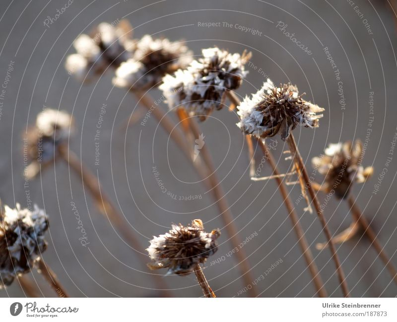 Sardinian Winter Greeting Nature Plant Autumn Blossom Wild plant Withered Dry Shriveled Drought Meadow Field Old To dry up Brown Transience Death Survive