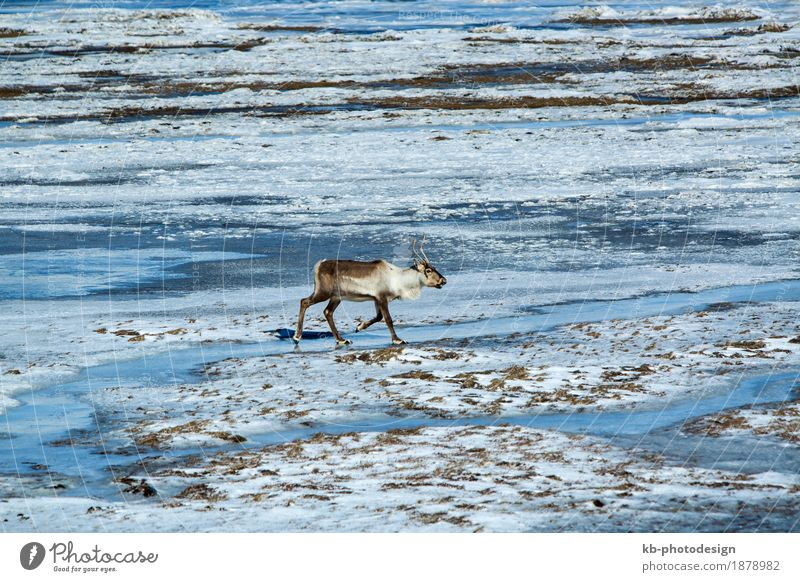 Nature Vacation & Travel Animal Far-off places Winter Tourism Wild animal Adventure Iceland Winter vacation Reindeer