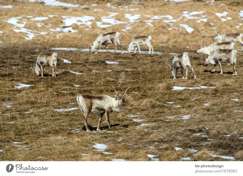 Hearth of reindeer in Iceland Vacation & Travel Tourism Adventure Far-off places Nature Wild animal Reindeer Herd mammal free panorama blue wilderness