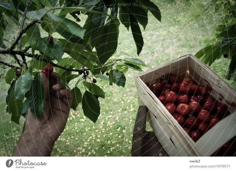 Fresh collection Hand Fingers Environment Nature Landscape Plant Summer Climate Beautiful weather Leaf Cherry tree Fruit basket Twig Delicious Above Sweet