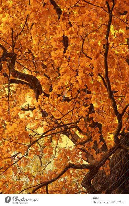 golden section Environment Nature Landscape Elements Autumn Tree Leaf Esthetic Gold Time Autumn leaves Autumnal Seasons Deciduous forest Colouring Treetop
