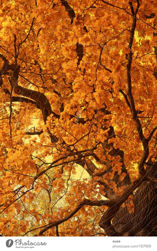 Nature Tree Leaf Environment Landscape Autumn Time Gold Esthetic Elements Seasons Tree trunk Treetop Autumn leaves Autumnal Autumnal colours