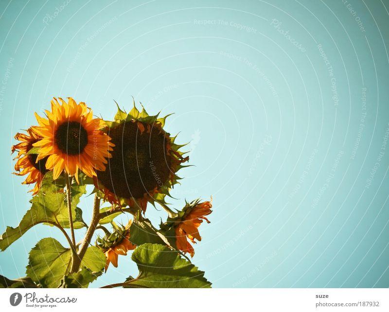 solar system Organic produce Vegetarian diet Beautiful Summer Sun Garden Gardening Environment Nature Plant Sky Climate Weather Flower Blue Yellow Sunflower