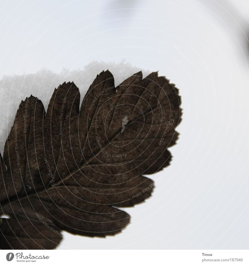 Autumn meets winter Nature Winter Climate Weather Snow Leaf Beautiful Change Structures and shapes Rachis Cold caught Colour photo Subdued colour Exterior shot