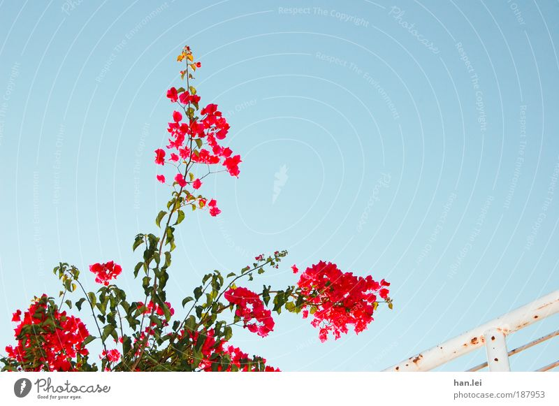 flower Sky Beautiful weather Cloudless sky Flash photo Worm's-eye view Handrail Banister Flower Plant Red Blue Relaxation Summer Blossom Copy Space right