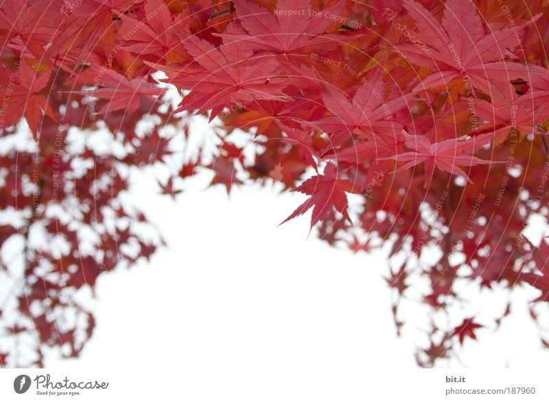 Sky Nature Tree Plant Red Leaf Autumn Environment Air Growth Pattern Star (Symbol) Change Seasons Frame Copy Space