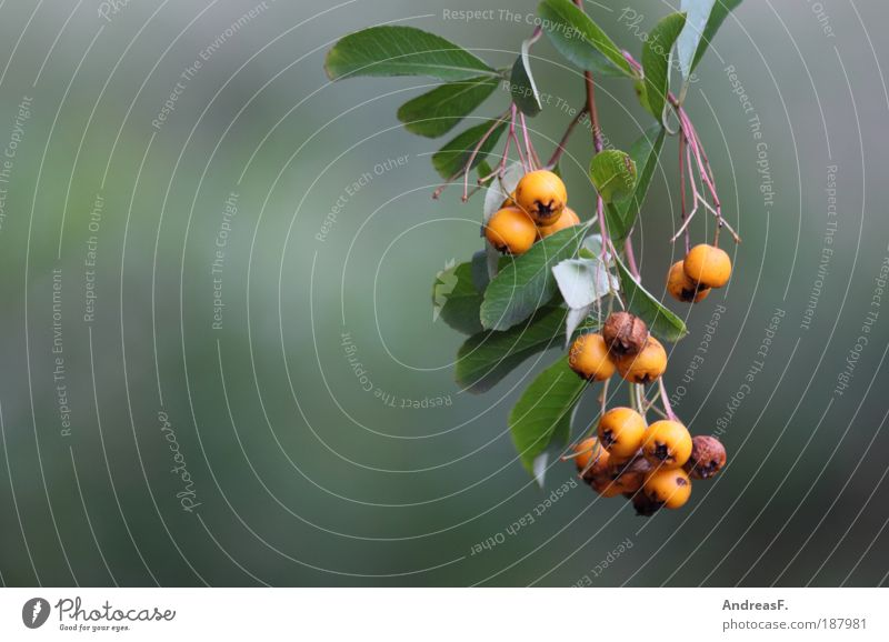 berries Environment Nature Plant Autumn Tree Bushes Leaf Yellow Green Branch Berries Berry bushes Orange Blur Fruit Colour photo Exterior shot Detail