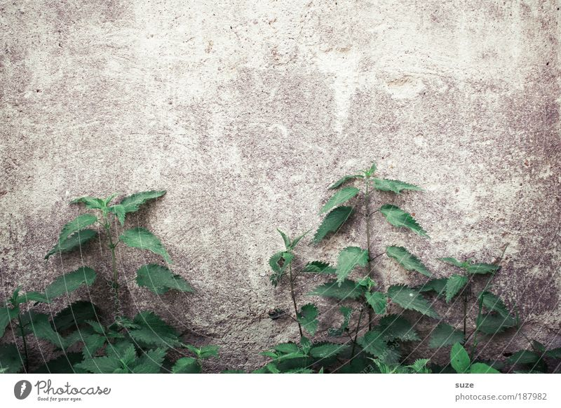 focal point Environment Nature Plant Foliage plant Agricultural crop Wild plant Wall (barrier) Wall (building) Old Authentic Natural Gloomy Dry Green Decline