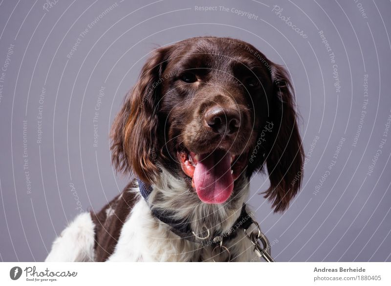Dog Animal Background picture Brown Curiosity Watchfulness Pet Workshop Animal face Thirst Patient Farm animal Love of animals