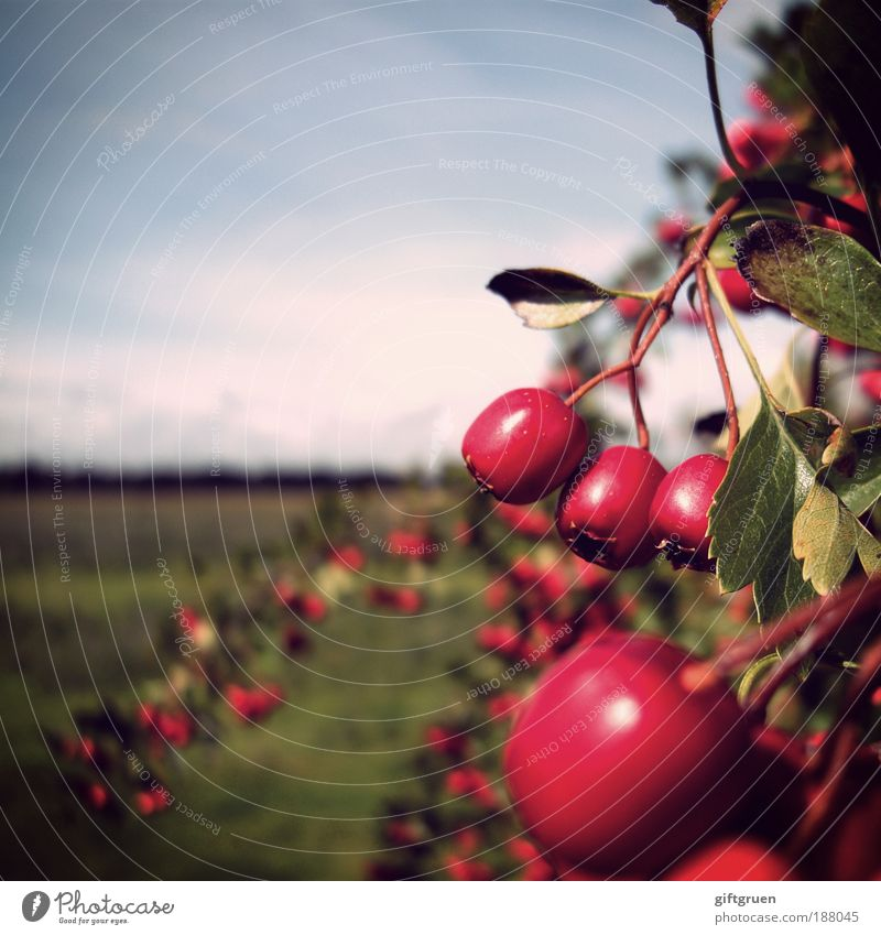 rosy prospects Environment Nature Landscape Plant Sky Autumn Beautiful weather Bushes Leaf Meadow Growth Berries Berry bushes Harvest Agriculture Mature Red