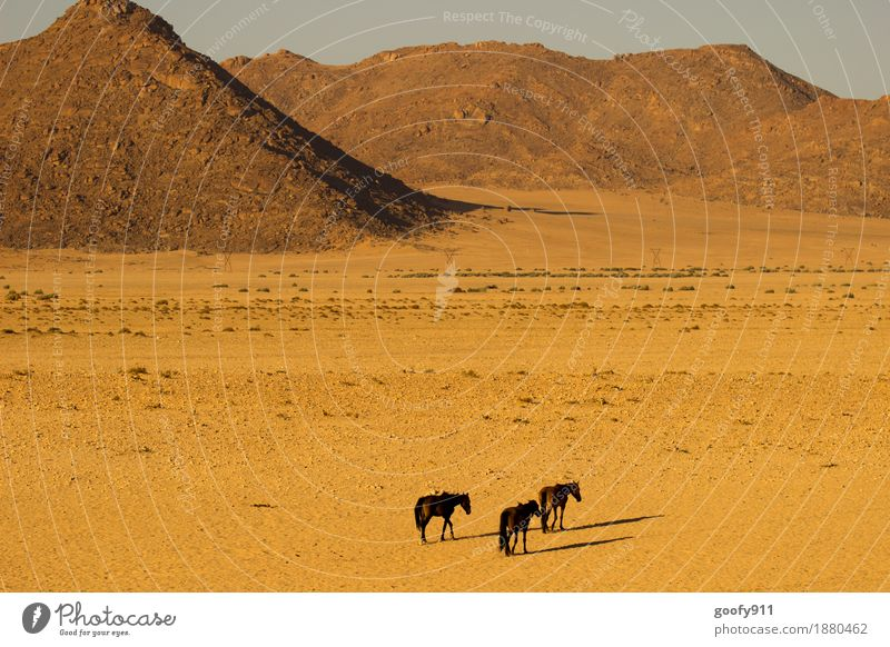 Wild horses in Aus (Namibia) Vacation & Travel Trip Adventure Far-off places Safari Environment Nature Landscape Earth Sand Sun Sunlight Summer Warmth Drought