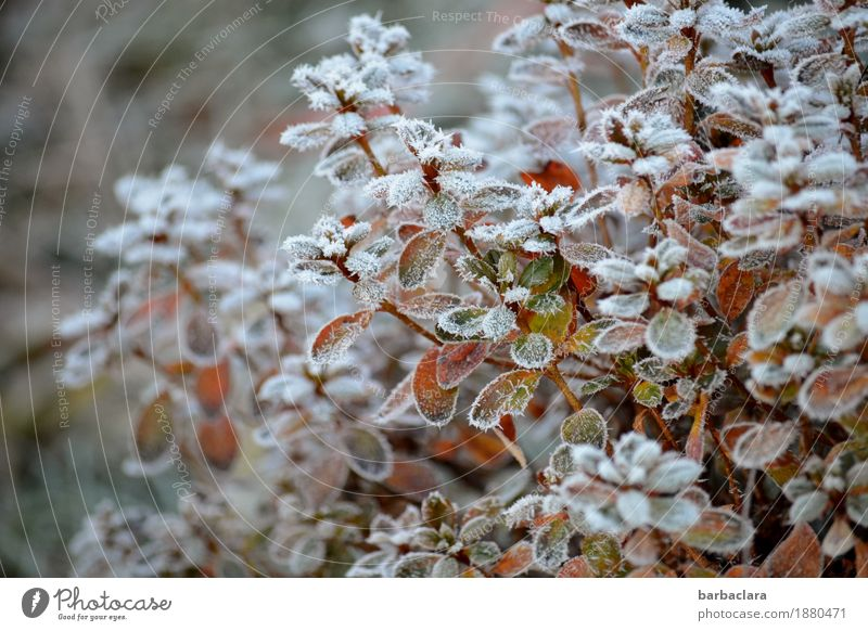 frosties Plant Winter Ice Frost Snow Bushes Garden Cold White Moody Climate Nature Environment Colour photo Subdued colour Exterior shot Pattern