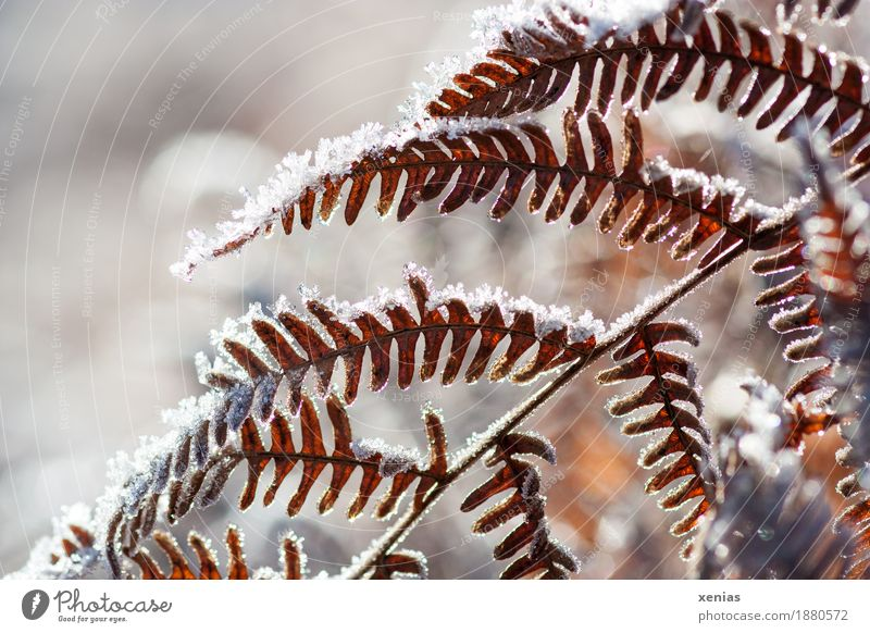 Fern fronds in winter Fern leaf fern frond Ice Frost Winter Snow Plant Pteridopsida Leaf Cold Brown White Back-light Shallow depth of field xenias Detail