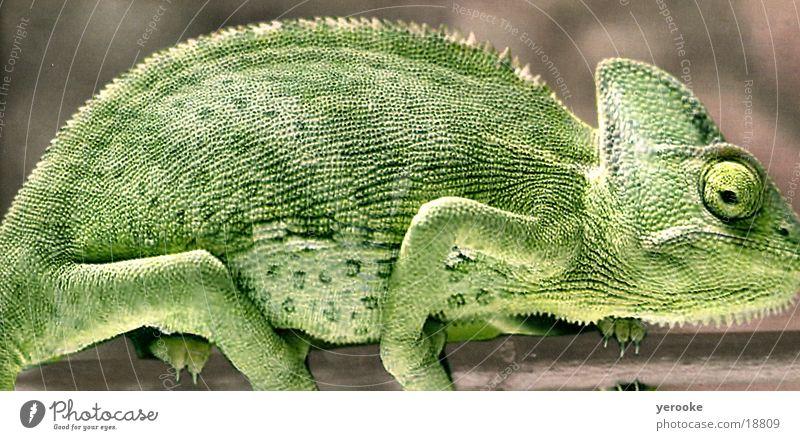 chameleon Saurians Chameleon Animal Green Africa tree lizard