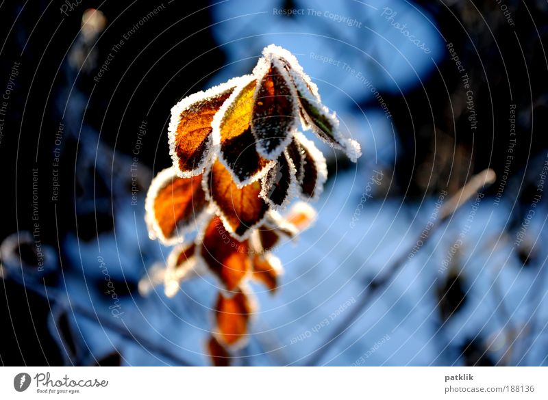 Play of light Elegant Plant Sunlight Snow Leaf Longing ice edge Frost Ice Illuminate Winter Cold Lighting Glow Growth Red Confectioner`s sugar Translucent