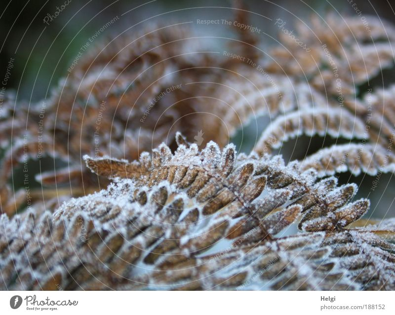 hoar frost Environment Nature Plant Winter Ice Frost Leaf Foliage plant Freeze To dry up Growth Old Esthetic Cold Natural Beautiful Brown White Bizarre