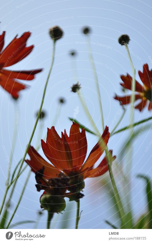 Flaming flowers Nature Plant Fire Flower Leaf Blossom Blue Green Red Blossom leave Bud Sky Sky blue Tattered Worm's-eye view Perspective Stalk Blur Colour photo