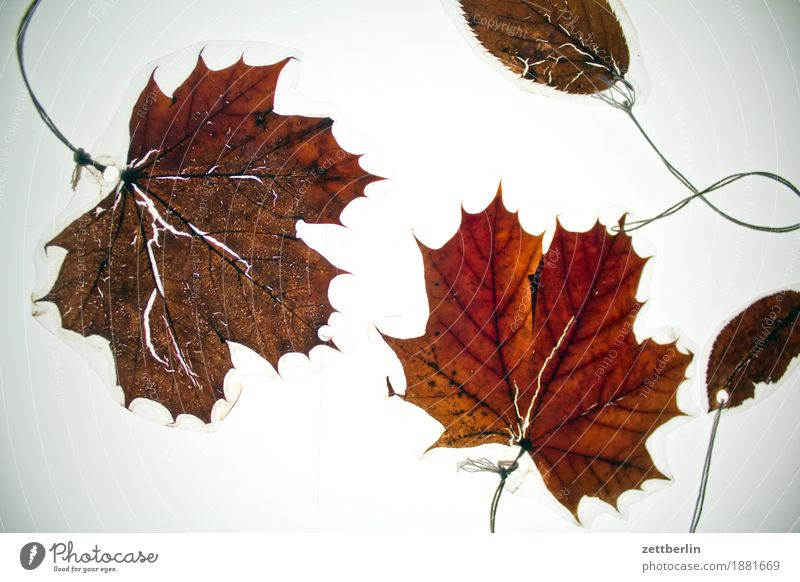 Old Leaf Autumn Brown Copy Space Decoration Dry Jewellery Autumn leaves Dried Maple leaf Shriveled Maple tree Leaf green