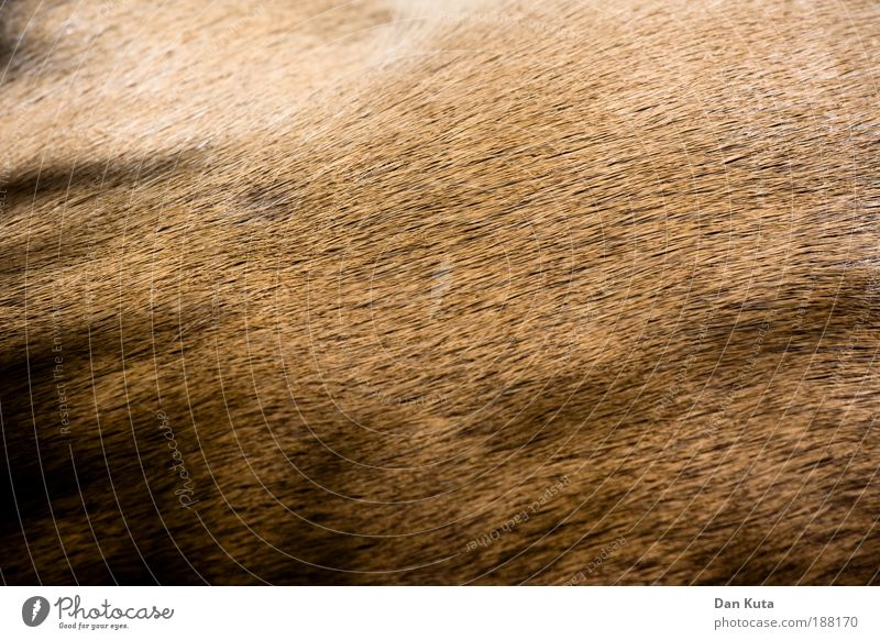 I Fell for you. Animal Wild animal Pelt Zoo Antelope 1 Baby animal Lie Pattern Brown Beige Shadow Hair Summer pelt Close-up Abstract full-frame image rimless