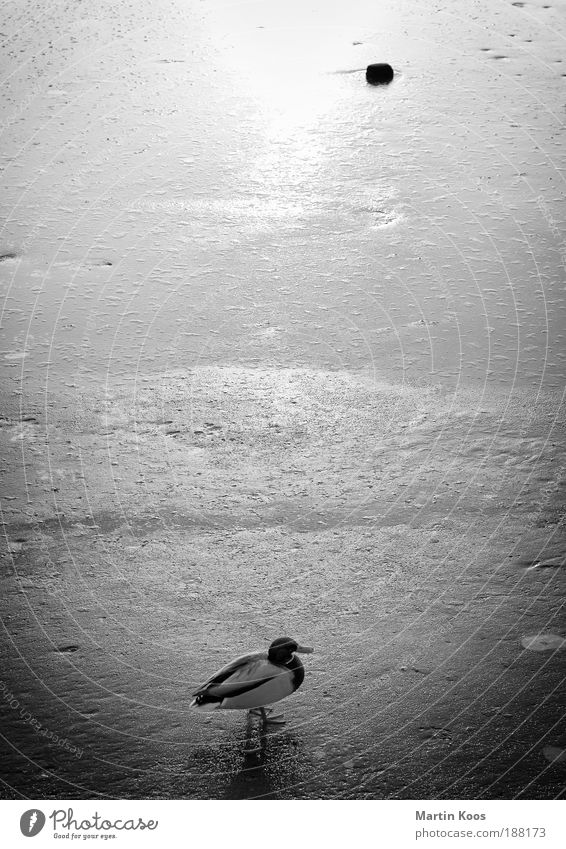Duck on ice Water Sunrise Sunset Sunlight Winter Ice Frost Snow Drake Stone Stand Wait Longing Esthetic Relationship Loneliness Perspective Calm Emphasis Power