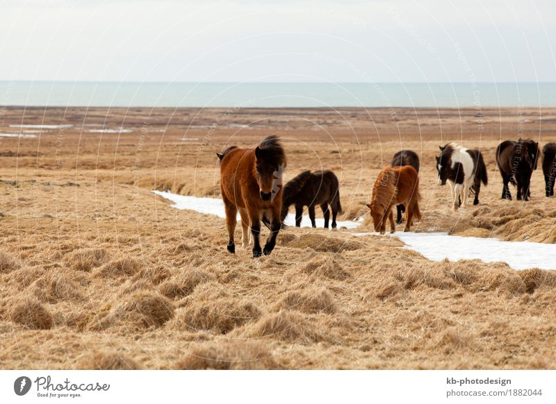 Herd of Icelandic ponies Vacation & Travel Wild animal Horse Iceland pony Iceland ponies brown mane Bangs stallion mare Icelanders ride horses breed freedom