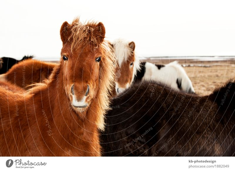 Portrait of an Icelandic pony Vacation & Travel Tourism Adventure Far-off places Horse 4 Animal Iceland pony Iceland ponies brown mane Bangs Icelanders ride