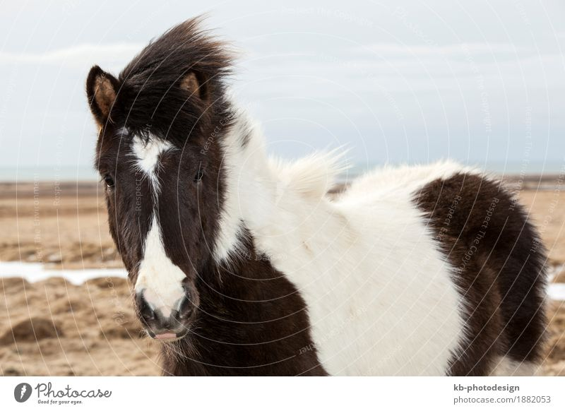 Portrait of a black and white Icelandic horse Vacation & Travel Tourism Adventure Far-off places Horse 2 Animal Iceland pony Iceland ponies Icelander dog snow