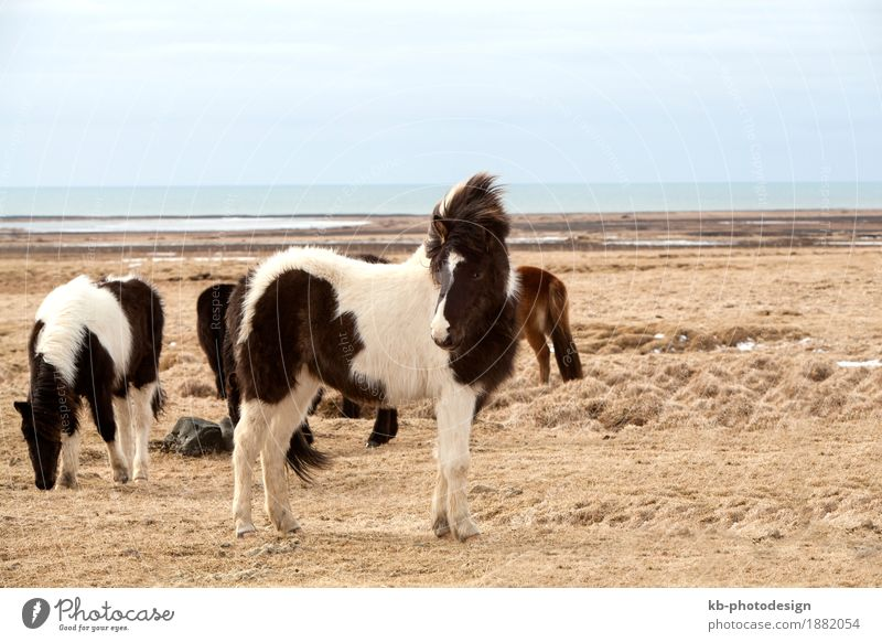 Vacation & Travel Animal Far-off places Tourism Adventure Horse Iceland Herd