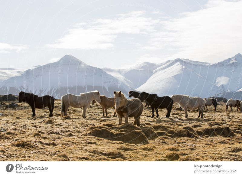 Herd of Icelandic horses on a meadow in winter Vacation & Travel Tourism Adventure Far-off places Winter Landscape Mountain Horse Iceland pony Iceland ponies