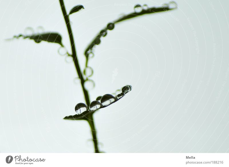 Nature Plant Calm Leaf Gray Glittering Small Environment Drops of water Wet Fresh Growth Break Pure Natural