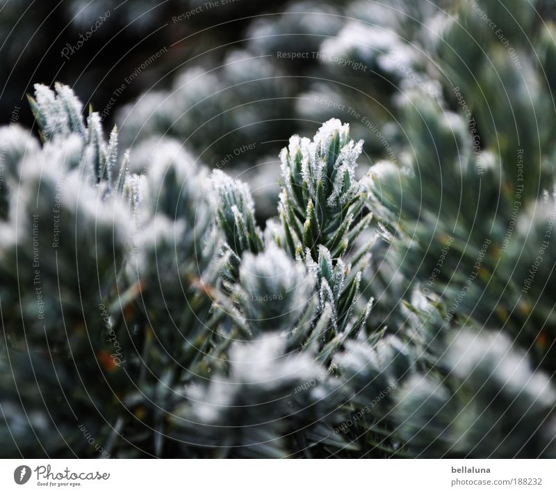 50 frosty needlesticks :-) Environment Nature Plant Winter Beautiful weather Ice Frost Snow Tree Cold Coniferous trees Colour photo Exterior shot Morning Day